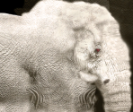 African Elephant (Albinism)