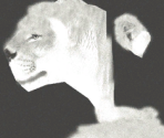 Lion♀ (Albinism)